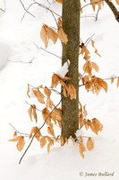 Young Beech in Snow