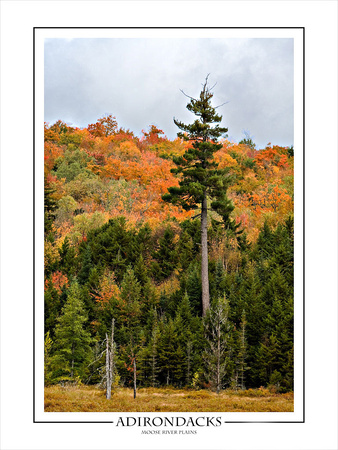 Mature White Pine, Moose River Plains