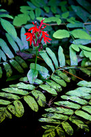 Cardinal Flowers Among Ferns